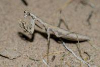 Mantis, Teshiktosh
