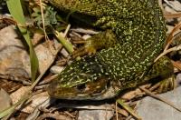 Lacerta viridis complex