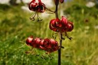 Lilium martagon in NP Paklenica
