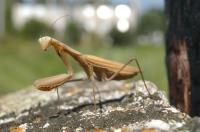 Mantis religiosa, Latorica